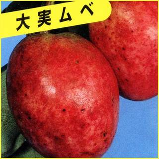 Amazon | ムベ苗木 | 果物 (14379)