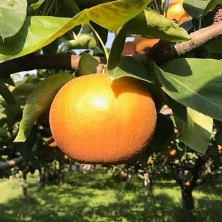 Amazon | Su-eatの 完熟 味極み 梨 減農薬 長野県 小布施町産 (南水 訳あり10キロ) (107897)