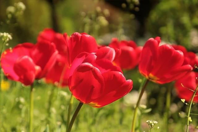 Free photo: Flower, Tulips, Red, Spring, Sun - Free Image on Pixabay - 722791 (3728)