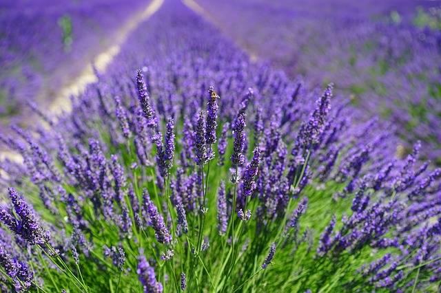 Free photo: Lavender Field, Flowers, Purple - Free Image on Pixabay - 1595587 (5779)