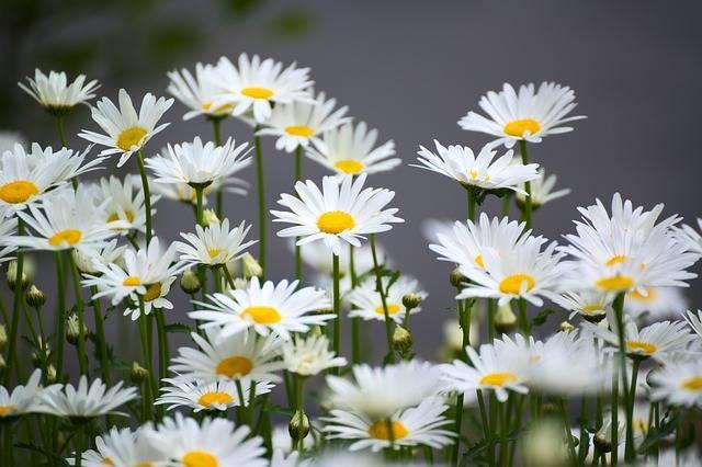 Free photo: Chamomile, Flower, Nature, Plant - Free Image on Pixabay - 2197682 (5801)