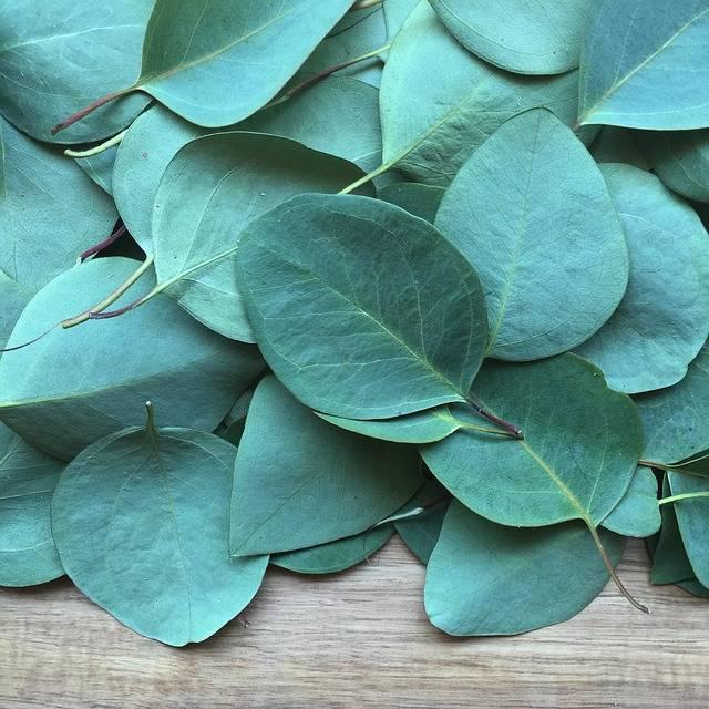 Free photo: Eucalyptus, Leaf, Plant, Floral - Free Image on Pixabay - 2086785 (5806)