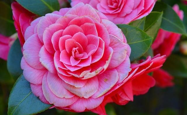 Free photo: Camellia, Camelia Japonica, Bush - Free Image on Pixabay - 2182851 (5882)