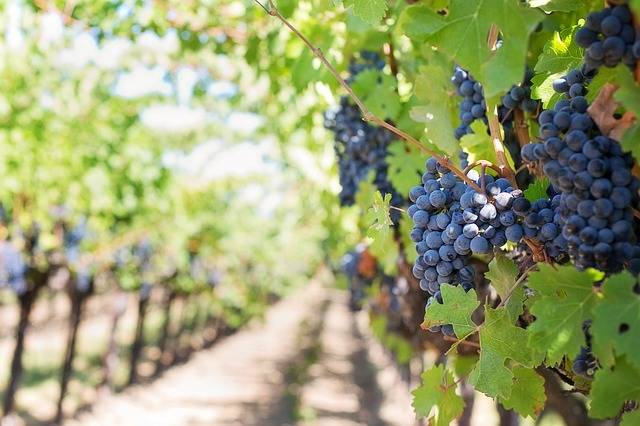 Free photo: Purple Grapes, Vineyard - Free Image on Pixabay - 553462 (5902)