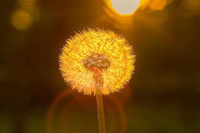 Free photo: Dandelion, Sun, Close, Back Light - Free Image on Pixabay - 2960121 (16021)