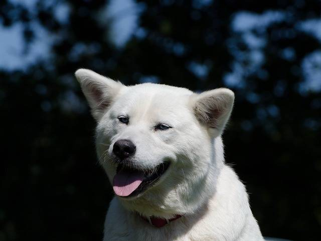 Free photo: Akita Inu, Husky, White, Hybrid - Free Image on Pixabay - 747885 (1194)