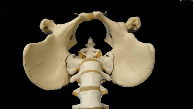骨盤(上方から)|写真素材なら「写真AC」無料(フリー)ダウンロードOK (145)