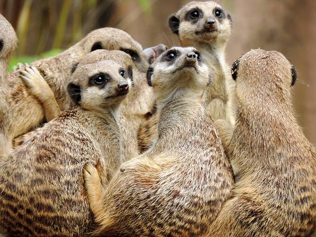 Free photo: Meerkat, Mongoose, Suricata - Free Image on Pixabay - 2812655 (12013)