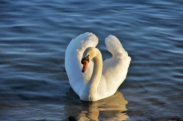 Free photo: Swan, Lake, Water, Water Bird - Free Image on Pixabay - 2894826 (12054)