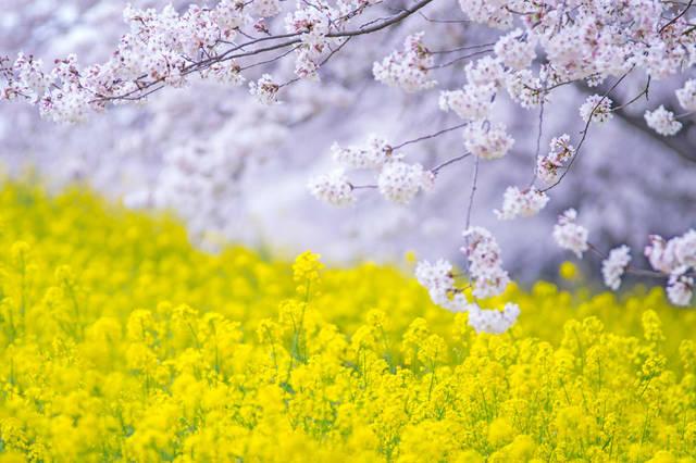 [フリー写真] 桜との花と菜の花でアハ体験 -  GAHAG | 著作権フリー写真・イラスト素材集 (1985)