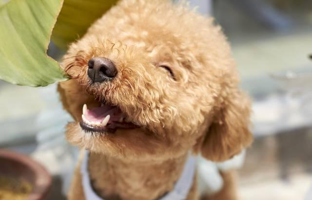 無料の写真: 犬, 笑顔, 屋外, ペースト, 繁殖, スモール, プードル - Pixabayの無料画像 - 1558962 (3570)