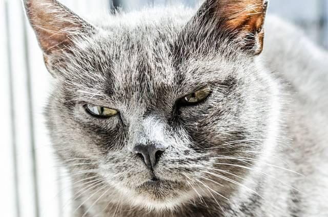 無料の写真: 猫, 怒って, 不幸です, 野生, ブラック, グレー, ペット - Pixabayの無料画像 - 334383 (6997)
