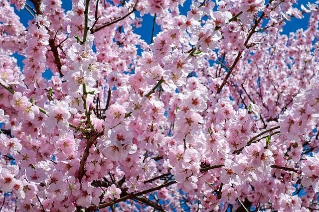 Free photo: Japanese Cherry Trees, Flowers - Free Image on Pixabay - 2168858 (1900)
