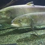 北海道でイトウを釣りたい!気になる釣り場と釣り方とは?