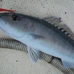 アオチビキはどんな魚?名前の由来や食べ方・料理レシピを紹介!