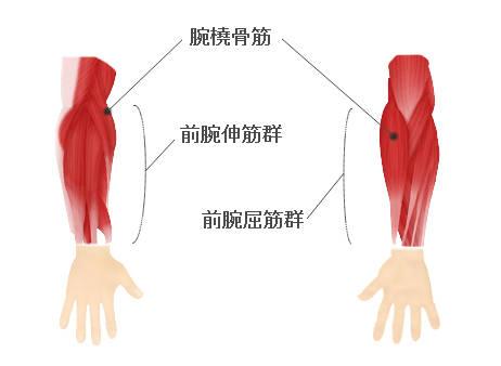 前腕筋の構成