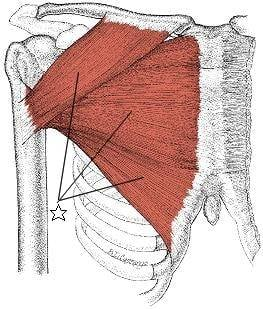 大胸筋(だいきょうきん)-筋肉.guide (15194)