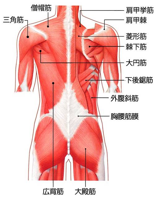 様々な種類の背中の筋肉