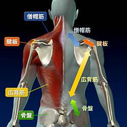 肩こり・肩の痛みの仕組み|肩こり|症状別解消法|コミコミクリニック みんなの家庭の医学 (33891)