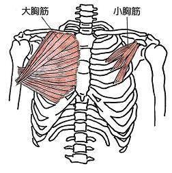 デスクワークの方に必見!小胸筋をほぐして肩こりをなくそう! | 中野区の整体、同業者も認める治療技術 やよい堂整骨院 (36679)