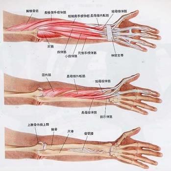 握力に関連する筋肉の構造 (104855)