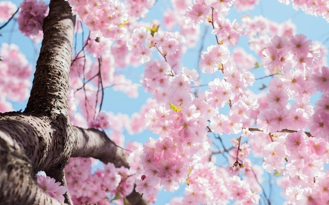 low angle photo of cherry blossoms tree photo – Free Flower Image on Unsplash (127957)