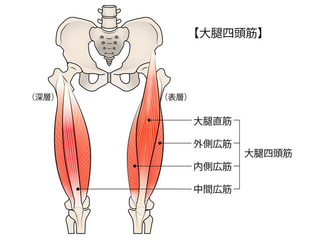 大腿筋イラスト/無料イラストなら「イラストAC」 (142944)