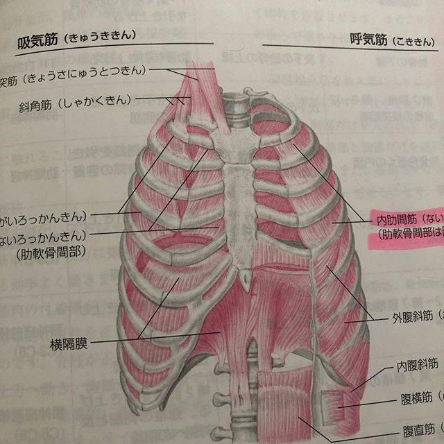 Emiko DoiさんはInstagramを利用しています:「内肋間筋にハイライトがされていますが、今日は横隔膜の話。 きちんと深く呼吸をすると それだけで体が引き上がってやる気が出てきます。 まずは風船のようにまあるく胸郭を広げること。 どうしても体の前ばかりに意識が行きがちだけど息は体の後ろにも横にも360度入ります。…」 (48344)