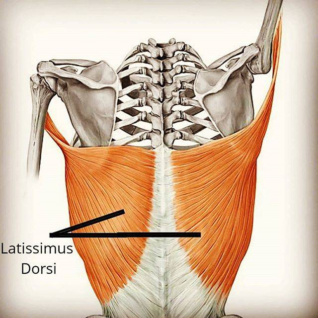"Adam Hilton on Instagram: ""HOW TO TRAIN YOUR LATS • Use this image as reference when you exercise your lats. See how the fibers on each core part move from end to…"" (48749)"