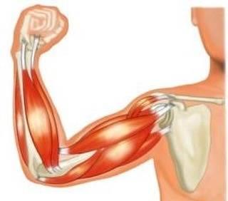 """筋トレ on Instagram: """"筋肉の構造を簡単にまとめます! 内臓や血管を形作り、意識的に筋肉を動かせないので不随意筋ともいわれる→平滑筋(心筋) 手足など動かす時に使い意識的に動かせる筋肉。また横紋構造が見られるので横紋筋とも言われる→骨格筋 骨格筋は、筋繊維の束になってできています!…"""" (59979)"""