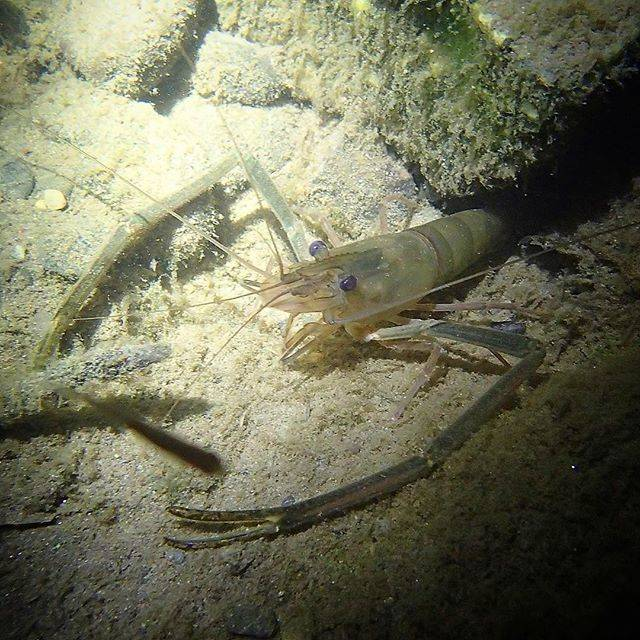 "Seiya  Hanzawa on Instagram: ""Chief shrimp in the Tama River.多摩川自分史上最高一番大きいテナガエビを見た。#japan #shrimp #wild #エビ #テナガエビ"" (62582)"