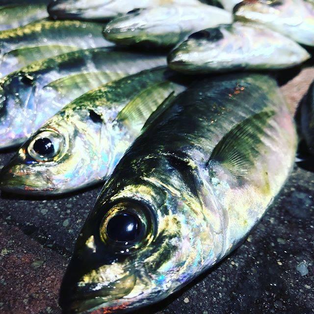 """daisuke fujii on Instagram: """"爆風どないやねん‼️しかも風向き最悪で、か・な・り、厳しい釣りだったけど、その風を利用したウインドドリフトでキッチリ25upをget🐟✨脂べっとりべろべろりんで100パー旨いやつ🍴年明け初の釣り、なんだかんだ上々の出来映え💮 ・ #ライトゲーム #アジング #北九州アジング…"""" (66551)"""