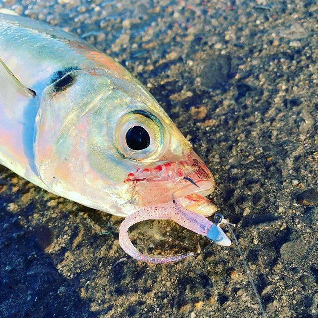 """ムラカミヨシキ on Instagram: """"とりあえず2019一発目は 惜しくも泣き尺スタート。。。 #あと1センチ #あるある #とにかく爆風 #なんもできない状態 #6時間経過 #マグバイト #アジキラージグヘッド #fishing #アジング #メバリング #ライトゲーム #ロックフィッシュ#ブーティーシェイク…"""" (67121)"""