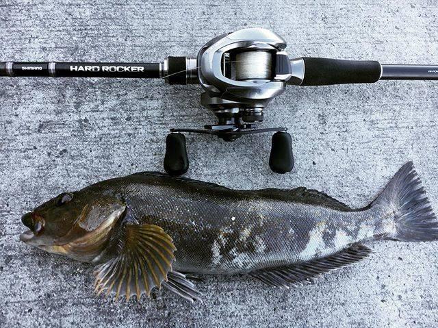 """ばがだづ on Instagram: """"あと1センチで40!#アイナメ #ネウ #アブラコ #ロックフィッシュ #シマノ #ハードロッカー #バークレー #ガルプ #パルスワーム #釣り好きな人と繋がりたい #fishing #ありがとう"""" (71948)"""