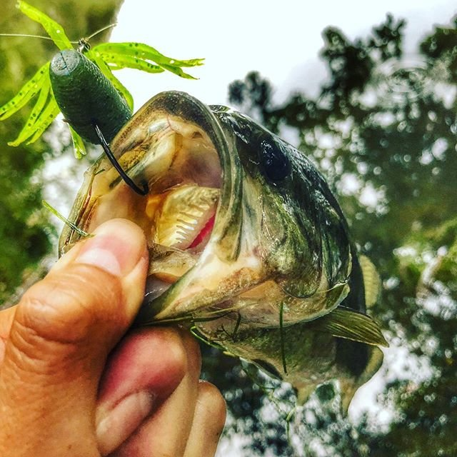 """it_1091【釣り専用アカウント】 on Instagram: """"今日の朝一はファットイカ🦑  #largemauthbass #ファットイカ #ゲーリーヤマモト  #ラージマウスバス #野池 #静岡野池 #釣り好きな人と繋がりたい #リブレ #bassfishing #バスフィッシング #バス釣り #fishing #フィッシング #釣り…"""" (87556)"""