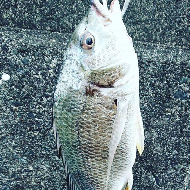 """のぼる on Instagram: """"柱のとこ打ったら、落パクで43cmサイズ更新。最近40upが釣れゆうき、楽しい😊#チニング#釣り#ベイトフィネス"""" (105291)"""