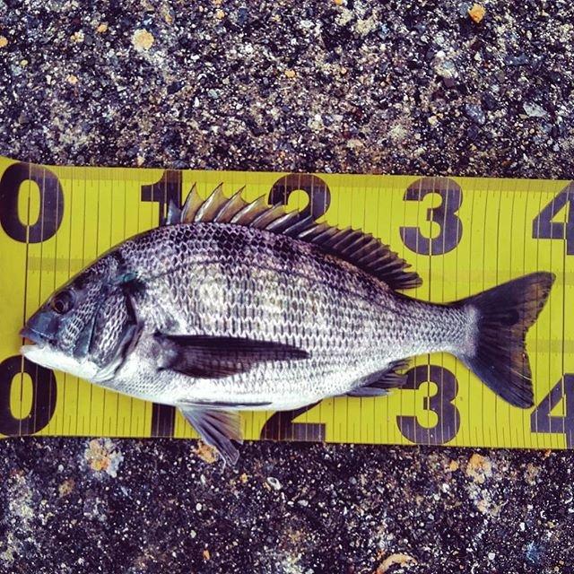 """N F on Instagram: """"なんか、消化不良です😢釣れるイメージは出来ていたのに😭#ちぬ #チヌ #黒鯛 #フカセ #フカセ釣り #釣り #大阪湾"""" (106361)"""