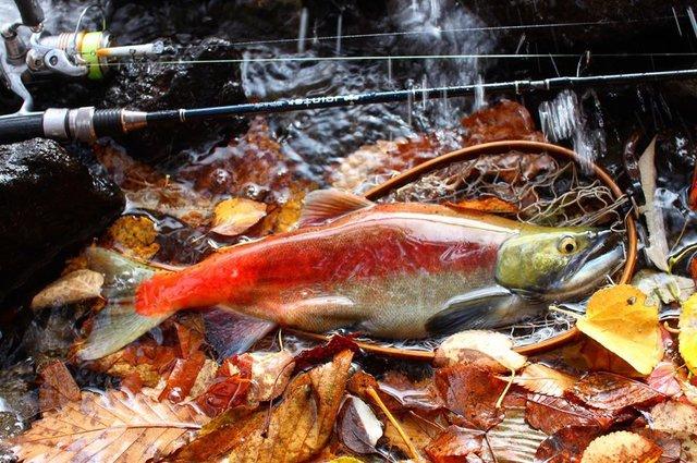 """Jointer on Instagram: """"jointer今期最大の紅鱒。  真っ赤な婚姻色が非常に綺麗なオスの40cm。この魚を夢見て、関東からの遠い道のりを向かっています。  見た事ない魚や風景に没頭し季節を体感できるのはやっぱり釣りの楽しさの1つ。  そのポテンシャルがある素晴らしいフィールドの十和田湖に感謝。…"""" (114636)"""