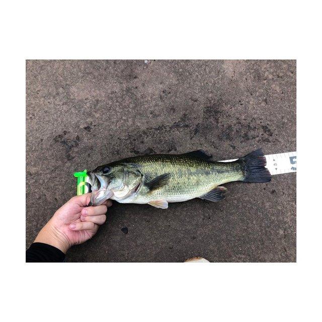 "shuhei on Instagram: ""一碧湖 口開け43cmスモラバで釣れました。バスアングラーの方々へ一碧湖、入漁証550円でオカッパリ一周ランガン可能です。小魚、ギル等のベイトも豊富にいます。#一碧湖#一碧湖バス釣り#一碧湖バス釣り"" (117840)"