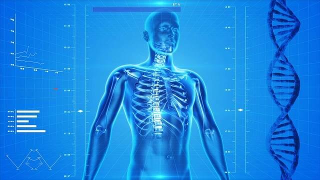 Free illustration: Human Skeleton, The Human Body - Free Image on Pixabay - 163715 (6270)