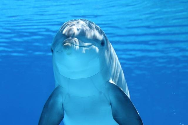 Free photo: Dolphin, Marine Mammals, Water, Sea - Free Image on Pixabay - 203875 (22459)