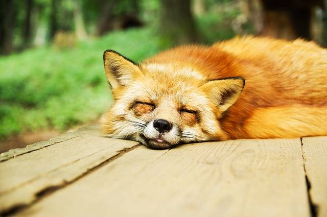 Animal Fox Cute · Free photo on Pixabay (30238)