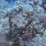 サンゴモニタリング報告