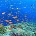 MSO那覇店のダイビングはケラマでキンギョハナダイにまかれてきました!