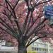 花の都パリで桜を楽しむ 春におすすめの観光スポット5選