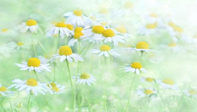 Nature Chamomile - Free photo on Pixabay (36740)