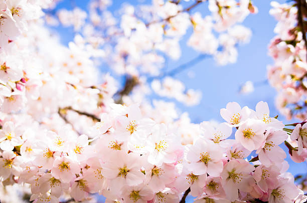 関東は今週が桜の見ごろですね。