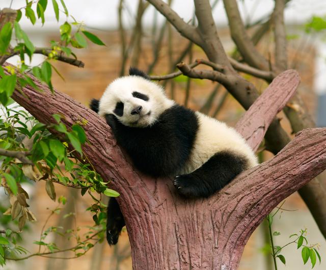 動物園 デート 木で眠る赤ちゃんパンダ