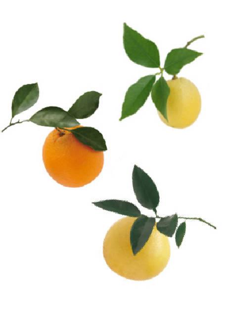 柑橘系(オレンジスイート・レモン・グレープフルーツ)