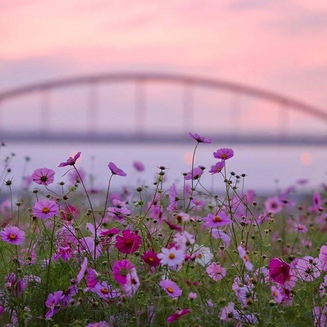 夕暮れに咲くピンクのコスモスはとてもロマンチック❤